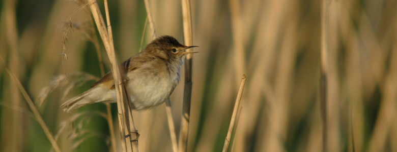 Reed Warbler on the Somerset Levels